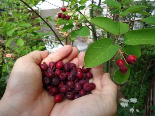 june-berry-shuukaku2.jpg