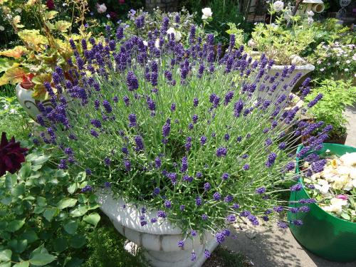 kireina-omise-lavendar.jpg