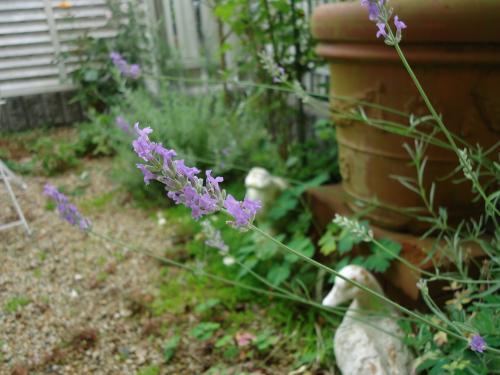 lavendar1.jpg