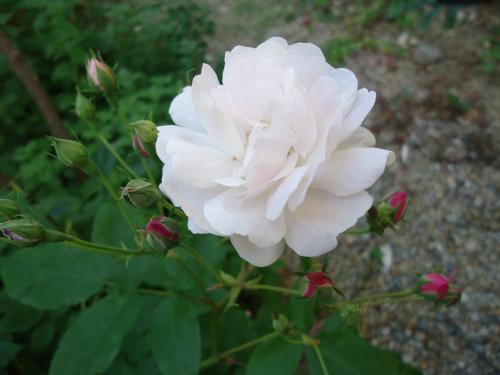 old-rose.jpg