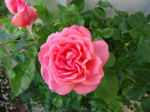 pink-no-turubara.jpg