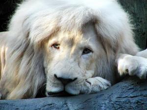white-lion.jpg