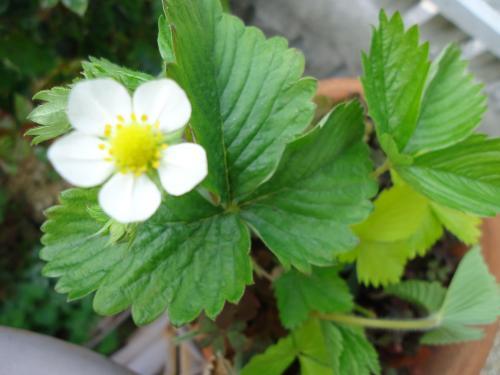wildstrawberry2.jpg