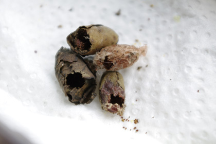 ハキリバチの巣 4つ