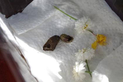 羽化後のハキリバチ巣