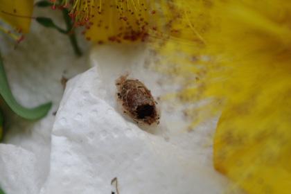 ハキリバチ 残された巣
