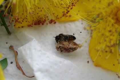 ハキリバチ 巣と背比べ