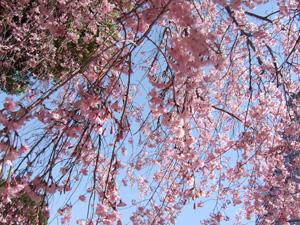 しだれ桜2