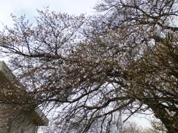 2013.3.22 桜