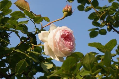 アーチのてっぺんで咲くピエール