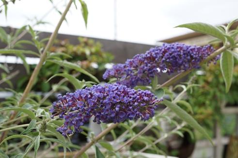 ブッドレア 開花~♪