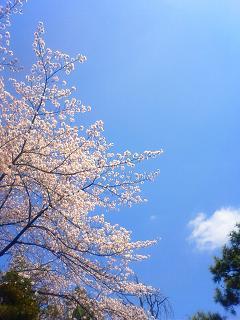 品川神社 境内の桜