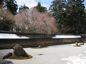 お庭の正面の枝垂桜は開花前