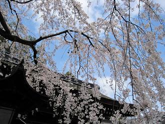 京都 平野神社のしだれ桜02