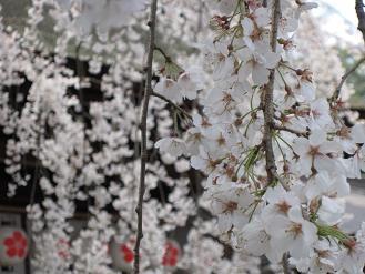 京都 平野神社のしだれ桜01