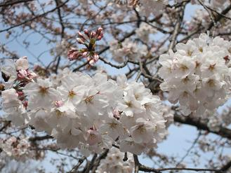 立本寺の桜02