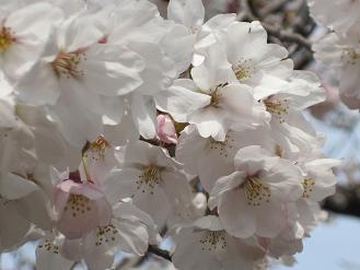 立本寺の桜01