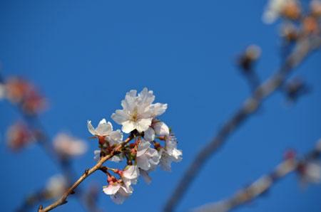 四季桜アップ