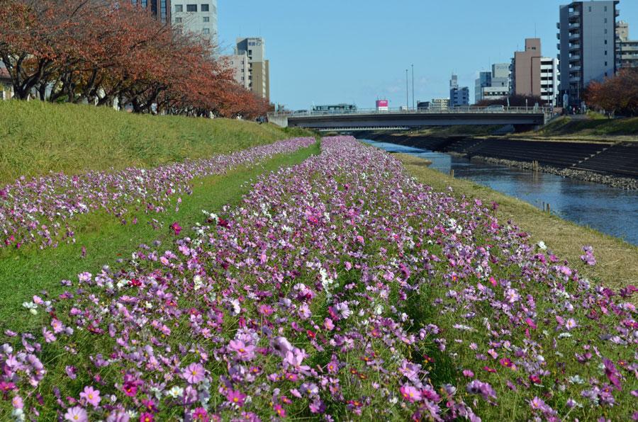 桜川コスモス1