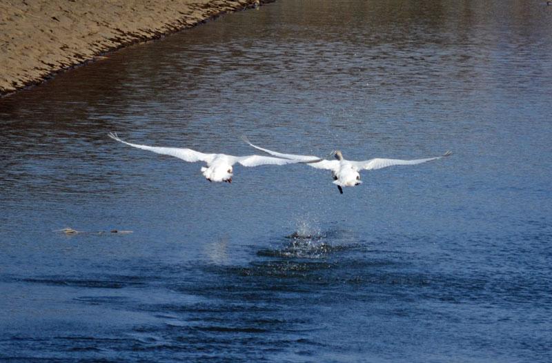 DSC_1449白鳥