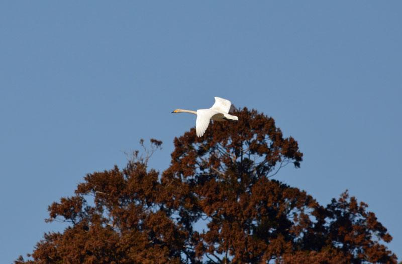 DSC_1580白鳥