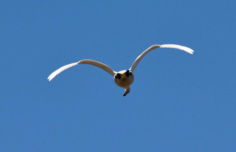 DSC_1579白鳥