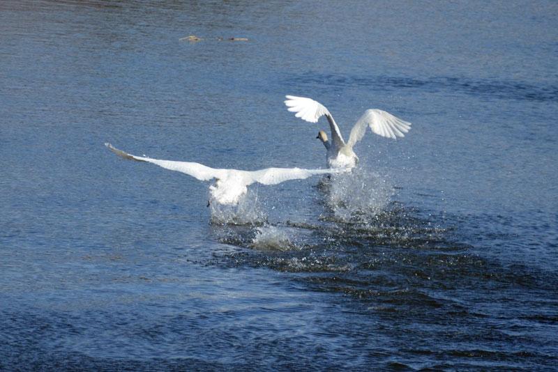 DSC_1444白鳥