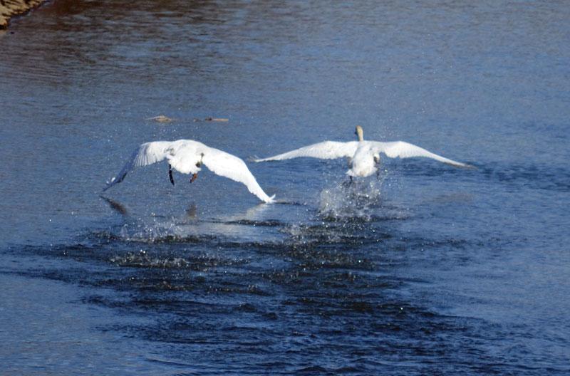 DSC_1447白鳥