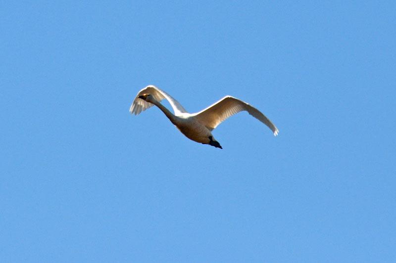 DSC_1582白鳥