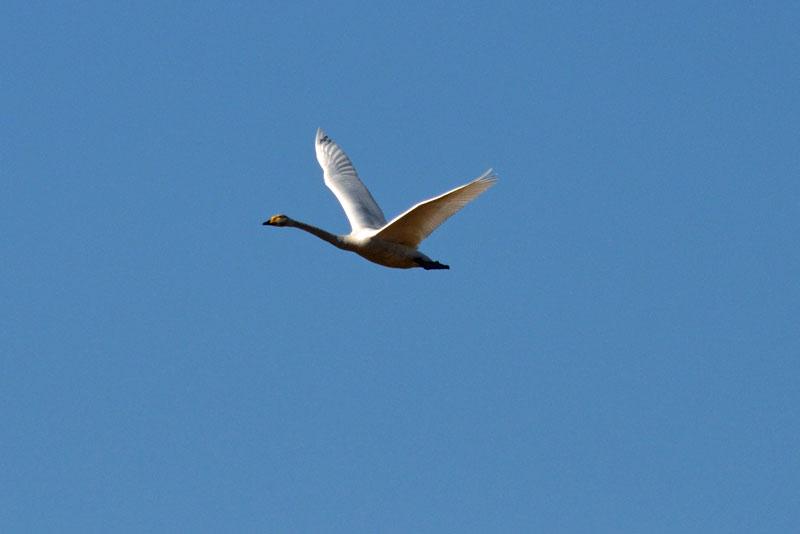 DSC_1581白鳥