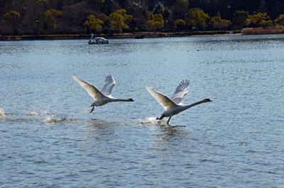 DSC_1973白鳥