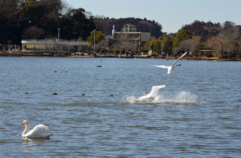 DSC_1984白鳥着水