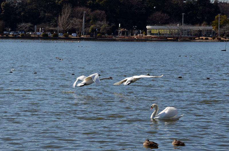 DSC_1981白鳥