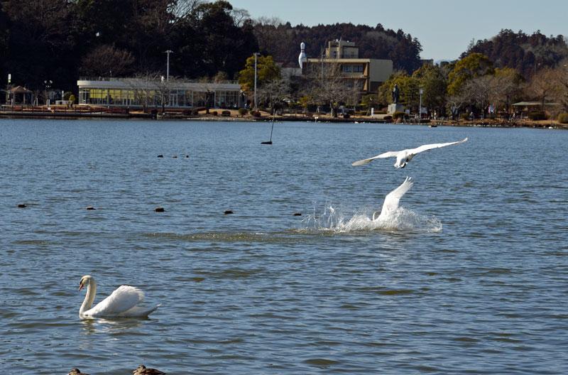 DSC_1983白鳥着水