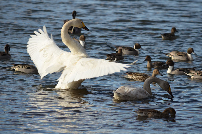DSC_1068白鳥威嚇