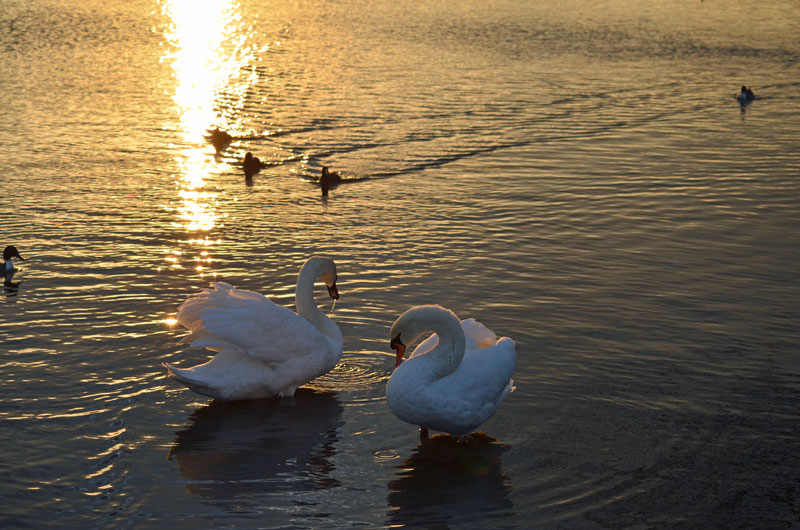 夕暮れ2羽白鳥