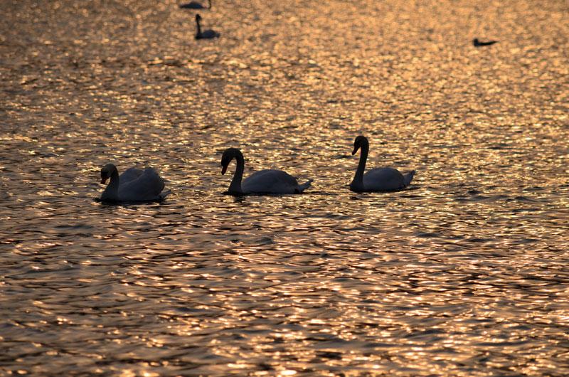 千波湖夕陽3羽白鳥