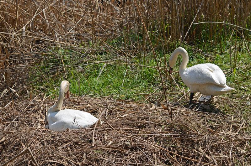 1247白鳥卵二羽