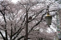 こういう時は桜に癒されますね
