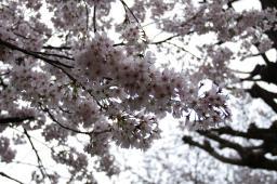 近くに寄っても桜