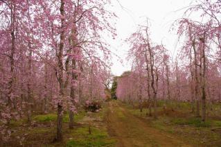 家の近くの桜の名所