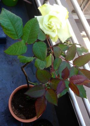 rose_convert_20130201115057.jpg
