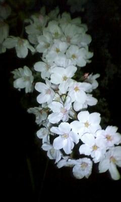 桜2010_02