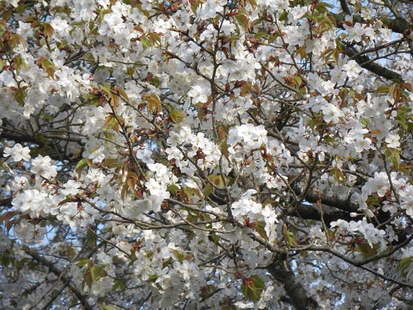 4/06桜