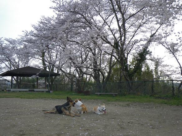 4/06桜1