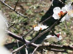 梅まつり みつばち