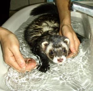 ferret-bathtime_19-106648.jpg