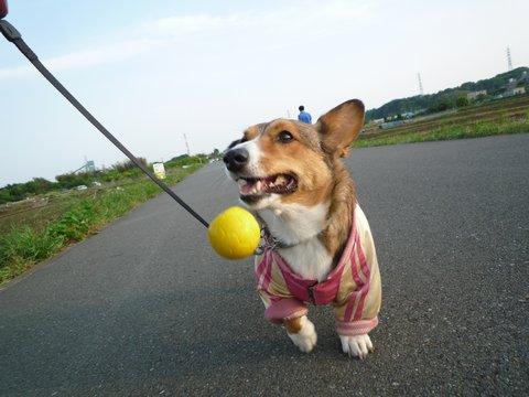 コーギーテール ぽこちゃん