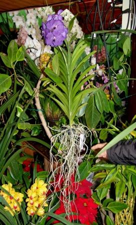 tnH25-12-15ハーブ庭園の胡蝶蘭とシンビジウム (8)_1