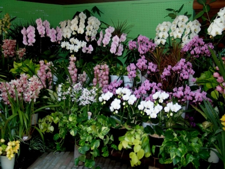 tnH25-12-15ハーブ庭園の胡蝶蘭とシンビジウム (7)